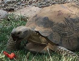 steve_tortoise